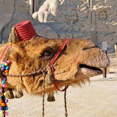 Camel on Tour