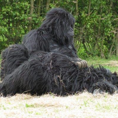 Gorillas on The Run
